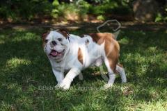 Bulldog - British