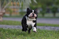 Bulldog - French