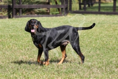 Coonhound - Black and Tan