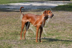 Coonhound - Redbone