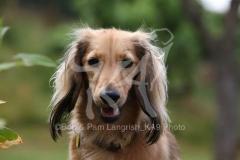 Dachshund - Long-haired Miniature