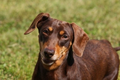 Dachshund - Smooth-haired Miniature