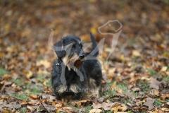 Dachshund - Wire-haired Miniature