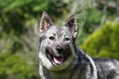 Elkhound - Norwegian