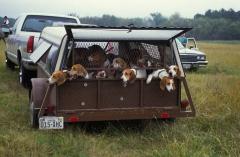 Foxhound - American