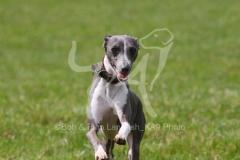 Greyhound - Italian