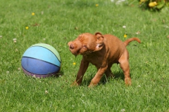 Hungarian Wirehaired Vizsla