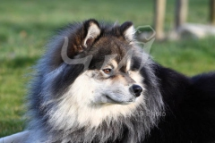 Lapphund - Finnish