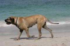 Mastiff - English
