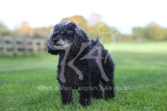 Poodle - Toy