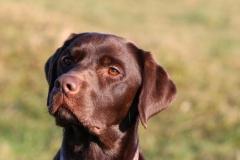 Retriever - Chocolate Labrador