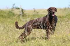 Retriever - Curly-coated