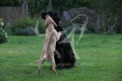 Retriever - Labrador
