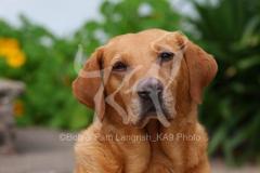 Retriever - Yellow Labrador