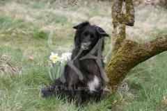 Sheepdog - Pyrenean