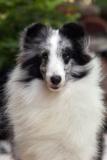 Sheepdog - Shetland
