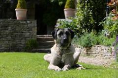Shepherd - Anatolian