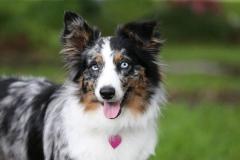 Shepherd - Australian