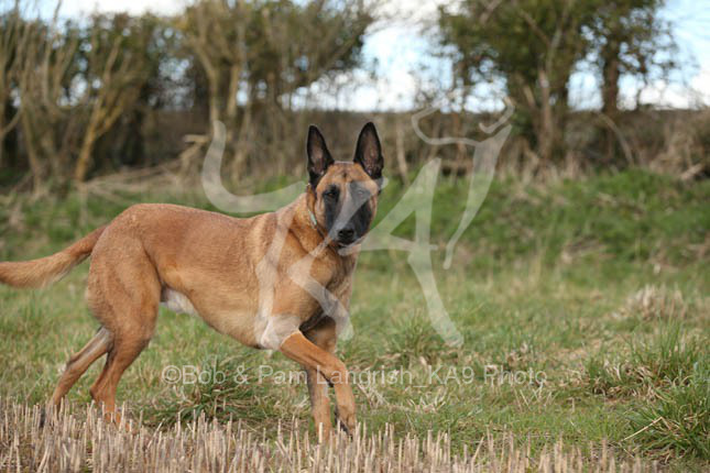 Shepherd – Belgian Malinois – KA9 Photography