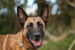 Shepherd - Belgian Malinois