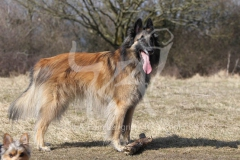 Shepherd - Belgian Tervueren