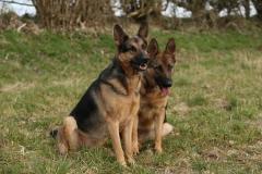 Shepherd - German