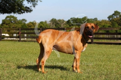 Southern Black Mouth Cur