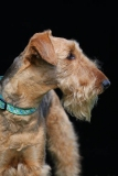 Terrier - Airedale