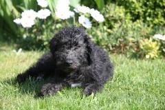 Terrier - Bedlington