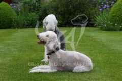 Terrier - Bedlington