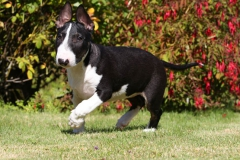 Terrier - Bull