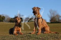 Terrier - Irish