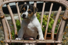 Terrier - Jack Russell