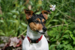 Terrier - Jack Russell