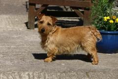 Terrier - Norfolk