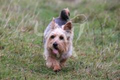 Terrier - Norwich