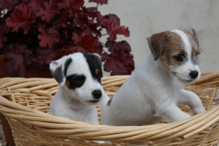 Terrier - Parson Jack Russell