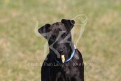 Terrier - Patterdale