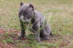 Terrier - Pit Bull