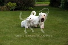 Terrier - Sealyham