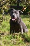 Terrier - Staffordshire Bull