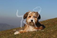 Terrier - Tibetan