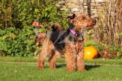 Terrier - Welsh