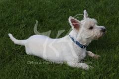 Terrier - West Highland White