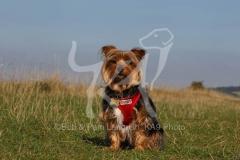 Terrier - Yorkshire